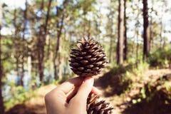 Cones do pinho em uma mão da mulher em uma floresta em um dia ensolarado Imagens de Stock Royalty Free