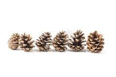 Cones do pinho isolados Imagem de Stock