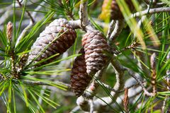 Cones do pinho na floresta do pinho Foto de Stock