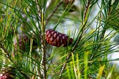 Cones do pinho na floresta do pinho Fotos de Stock Royalty Free