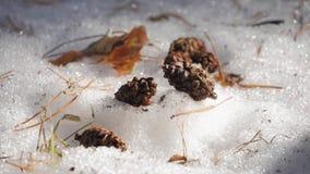 Cones do pinho na neve na floresta filme