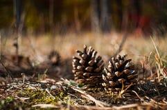 Cones do pinho na terra Foto de Stock