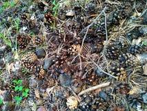 Cones do pinho na terra Imagens de Stock Royalty Free