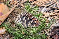 Cones do pinho na terra, caída das árvores Imagens de Stock