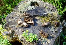 Cones do pinho no coto musgoso velho Fotografia de Stock Royalty Free