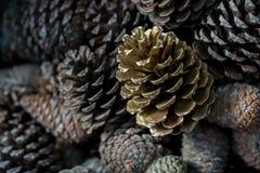 Cones do pinho do pinheiro foto de stock