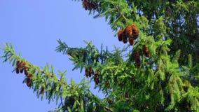 Cones do pinho que penduram no ramos no dia de verão ensolarado ventoso vídeos de arquivo