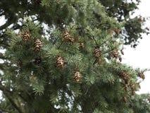 Cones do pinho que sentam-se no pinheiro Detalhe de árvore com uma agulha Imagens de Stock