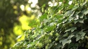 Cones dos lúpulos em um arbusto verde um o dia ensolarado Fundo borrado Movimento lento r vídeos de arquivo