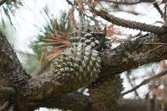 Cones dos pungens do pinus do pinho de montanha da tabela Foto de Stock Royalty Free
