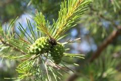 Cones e abeto-agulha do pinho na floresta do russo Imagens de Stock Royalty Free