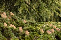 Cones e agulhas coreanos da árvore de abeto Foto de Stock Royalty Free