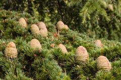 Cones e agulhas da árvore de abeto Fotos de Stock