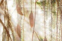 Cones e filiais Spruce na luz solar Imagem de Stock Royalty Free