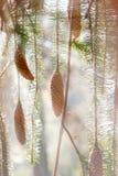 Cones e filiais Spruce nos sunbeams Fotografia de Stock