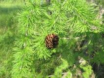 Cones e ramo do larício com fundo verde fotografia de stock