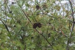 Cones em um pinheiro foto de stock royalty free