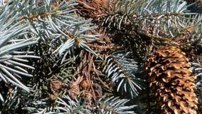 Cones em um pinheiro video estoque