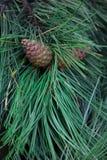Cones em um ramo do abeto Fotografia de Stock