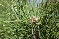 Cones em um ramo spruce Imagens de Stock Royalty Free