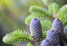Cones em uma pele-árvore Fotografia de Stock