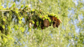 Cones. Fir branch with cones with sky in background Royalty Free Stock Image