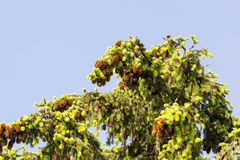 Cones. Fir branch with cones with sky in background Stock Images