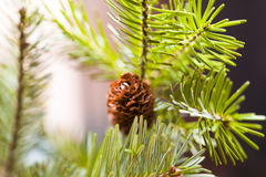 Cones on a fir-tree Stock Photography