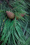 Cones on a fir-tree branch Stock Photography