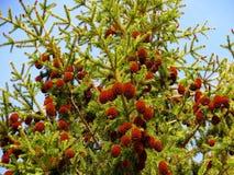 Cones on a fir-tree. Fir cones ripened on a high fir-tree Stock Photos