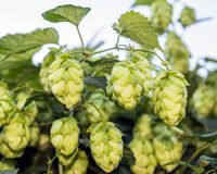 Cones of flowering hops close-up stock photos