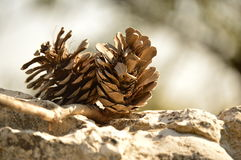 Cones in the forest Royalty Free Stock Photo