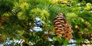 Cones in forest royalty free stock images