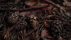 Cones in the forest. Park area. Walk and rest in the forest. Close-up cones. Forest nature. Fresh air. Pine forest. Texture and background stock video