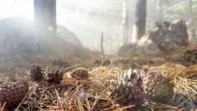Cones in the forest. In the sunlight stock footage