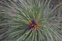Cones forming from the flowers of a ponderosa pine tree. Ponderosa pine regenerates  in a two-year cycle. The tree flowers from April to June one year forming Royalty Free Stock Images