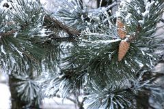 Cones and frost on a pine branch. Cones and frost on a green pine branch Stock Image