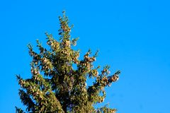Cones on a fur-tree Royalty Free Stock Photography