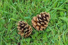 Cones on the grass. Two fir cones on the grass Stock Images