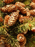 Cones in green. Green cones and twigs in a nice composition Royalty Free Stock Images
