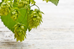 Cones of hop Stock Photos