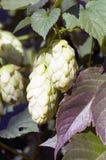 Cones in the hop garden. Ripened hop cones in the hop garden Stock Photo