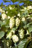 Cones in the hop garden. Ripened hop cones in the hop garden Royalty Free Stock Images