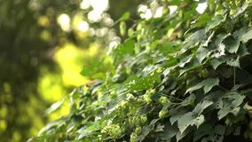 Cones of hops on a green bush a sunny day. Blurred background. Slow motion. 1080p full HD video stock video footage