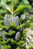 Cones of Korean Fir Royalty Free Stock Photo