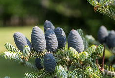 Cones of Korean Fir Royalty Free Stock Images