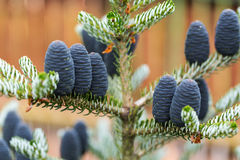 Cones of Korean Fir Royalty Free Stock Photography