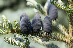 Cones of Korean Fir Stock Photo