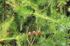 Cones of larch. Against the background of green needles Stock Images