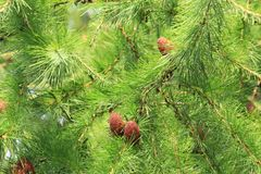 Cones of larch. In green branches Royalty Free Stock Images
